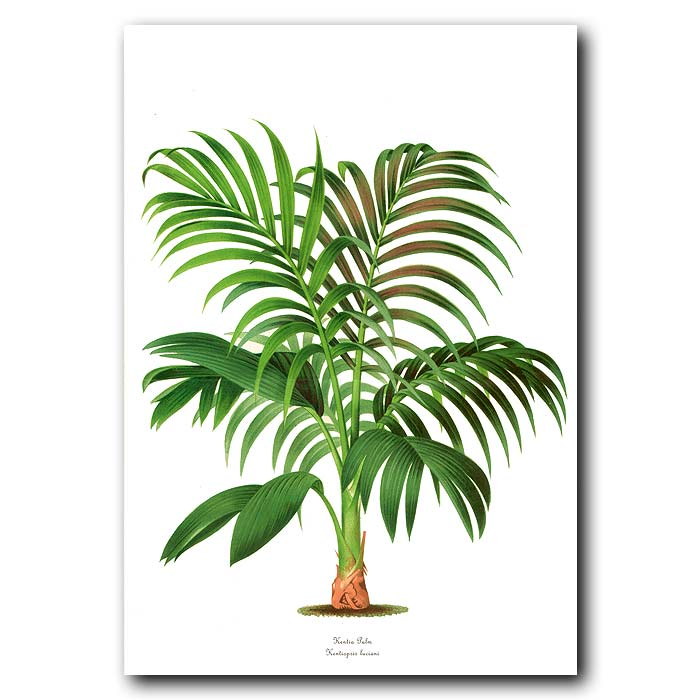 Fine art print for sale. Kentia Palm from New Caledonia