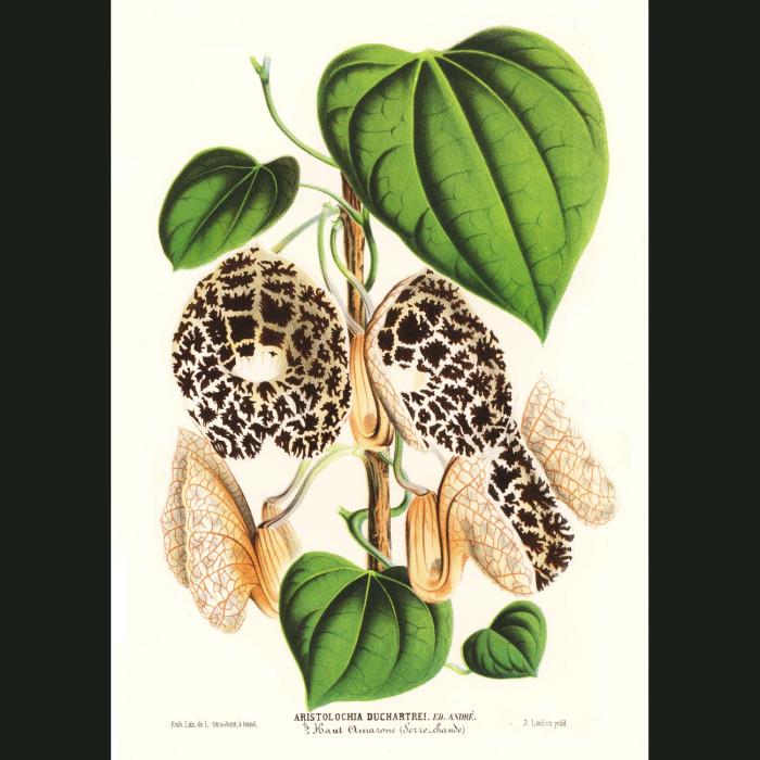 Fine art print for sale. Dutchman's Pipe Flowers