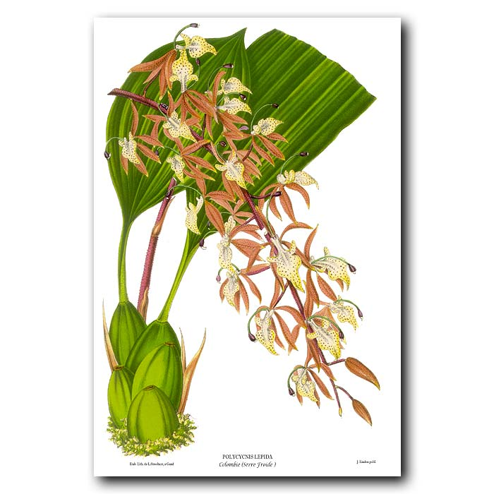 Fine art print for sale. Swan Orchid from Colombia