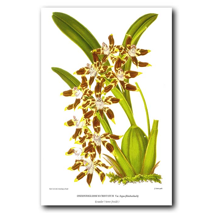 Fine art print for sale. Odontoglossum Cristatum Orchid