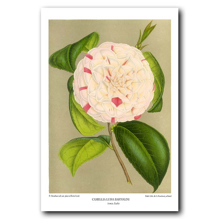 Fine art print for sale. Striped Camellia