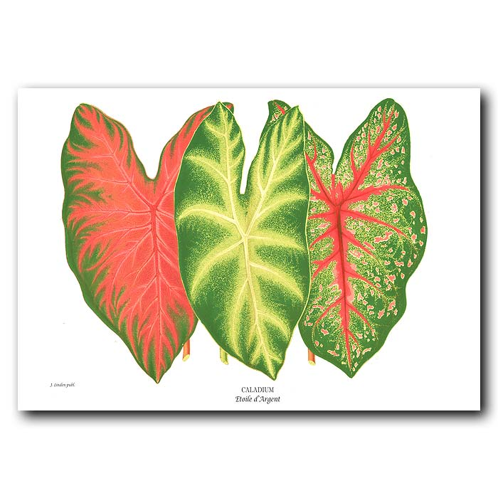 Fine art print for sale. Colorful Caladiums from Brazil