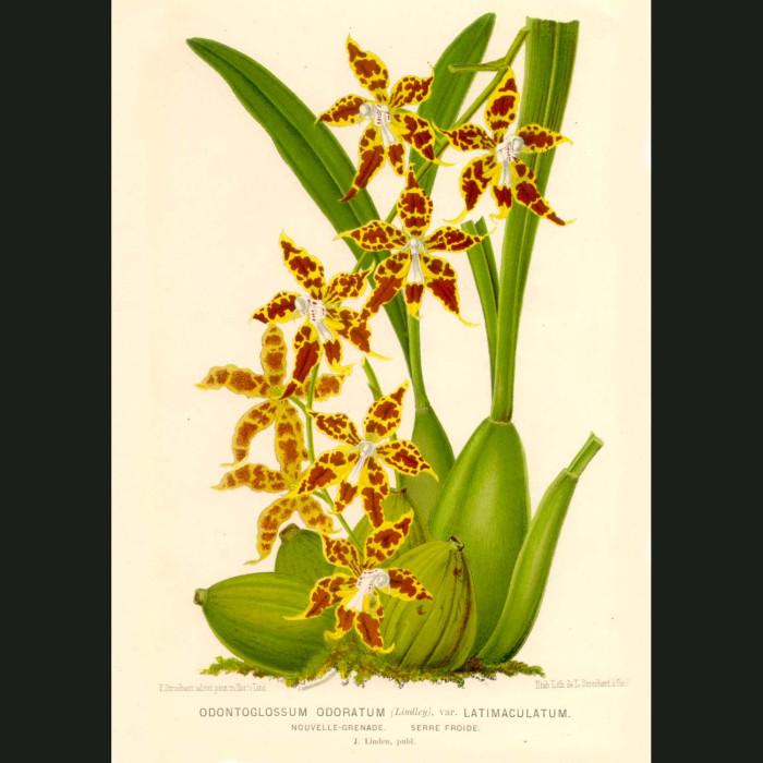 Fine art print for sale. Odontoglossum Odoratum Orchid