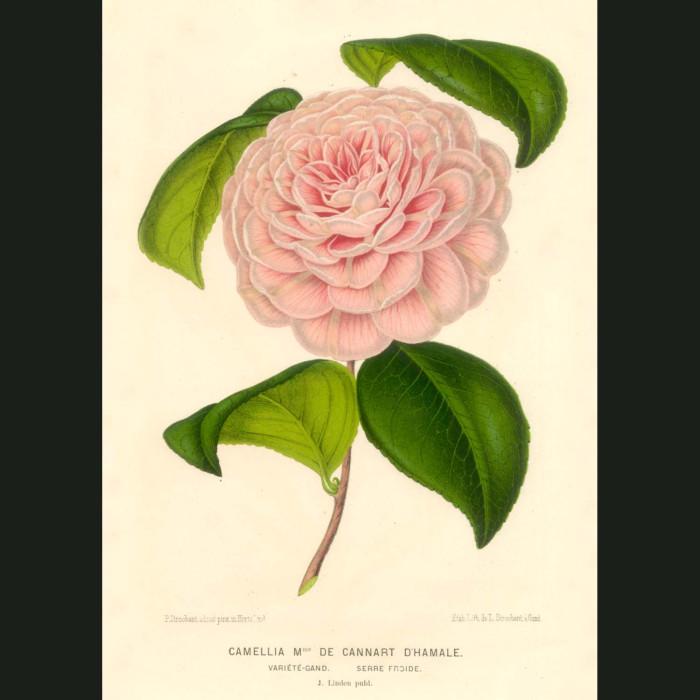 Fine art print for sale. Pink Camellia
