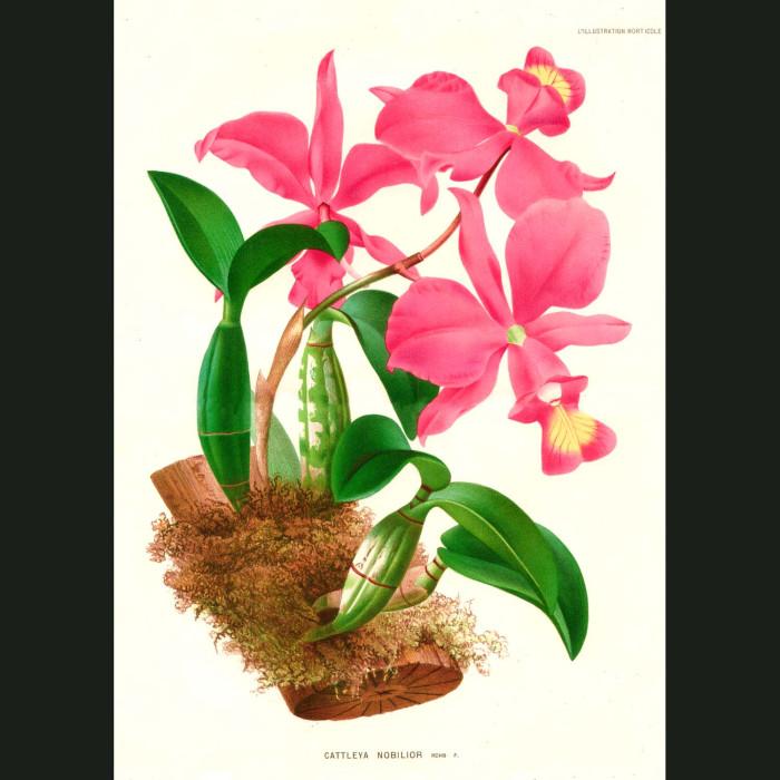 Fine art print for sale. Cattleya Nobilor Orchid from Brazil