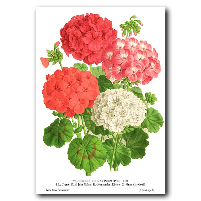 Fine art print for sale. Bouquet of Pelargoniums