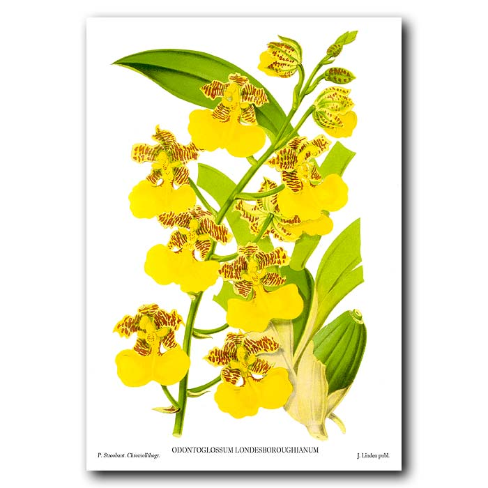 Fine art print for sale. Odontoglossum Orchid from Mexico