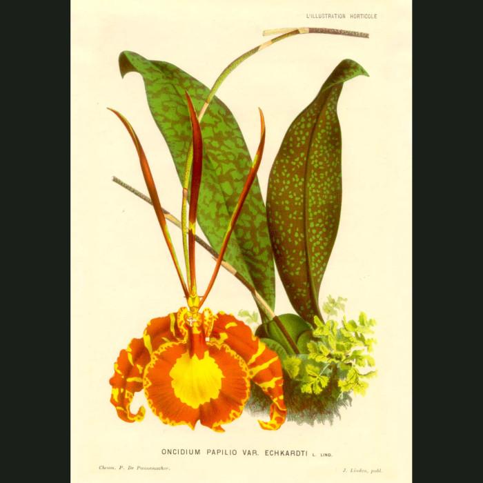 Fine art print for sale. Splendid Butterfly Orchid