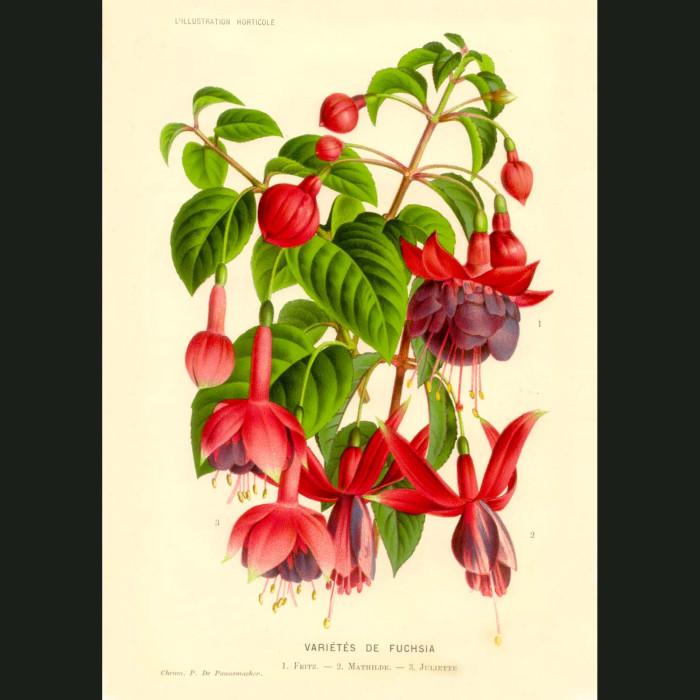 Fine art print for sale. Fuschia