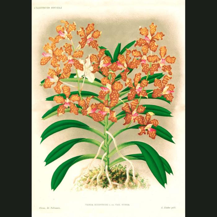 Fine art print for sale. Vanda Roxburghi Orchid