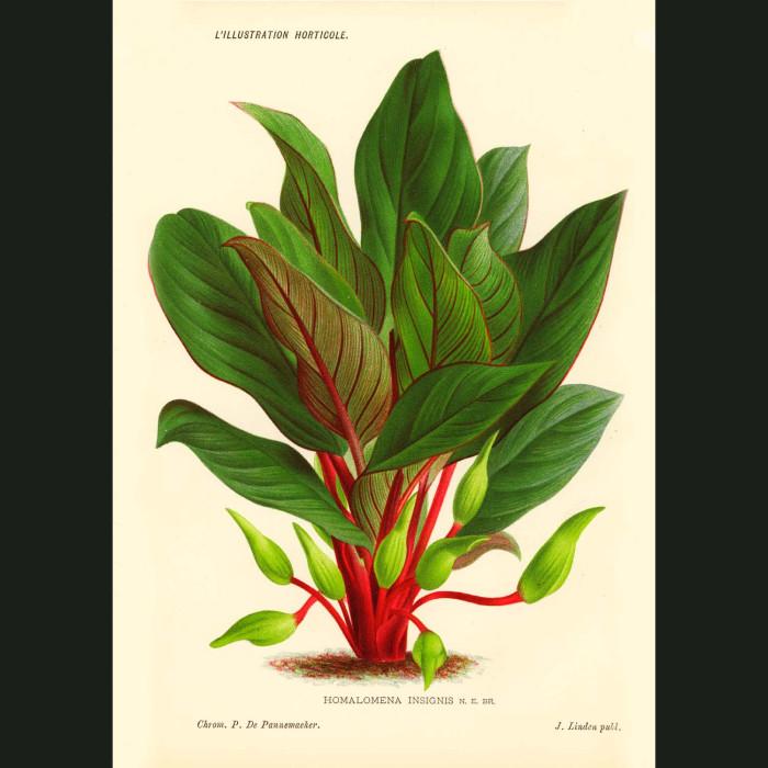 Fine art print for sale. Araceae Tropical Plant