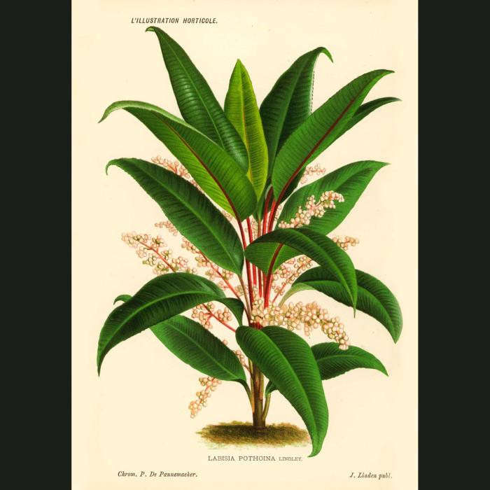Fine art print for sale. Labisia Plant from Borneo