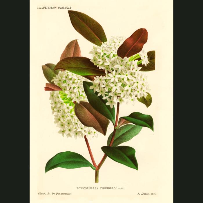 Fine art print for sale. Bushman's Poison Flowers
