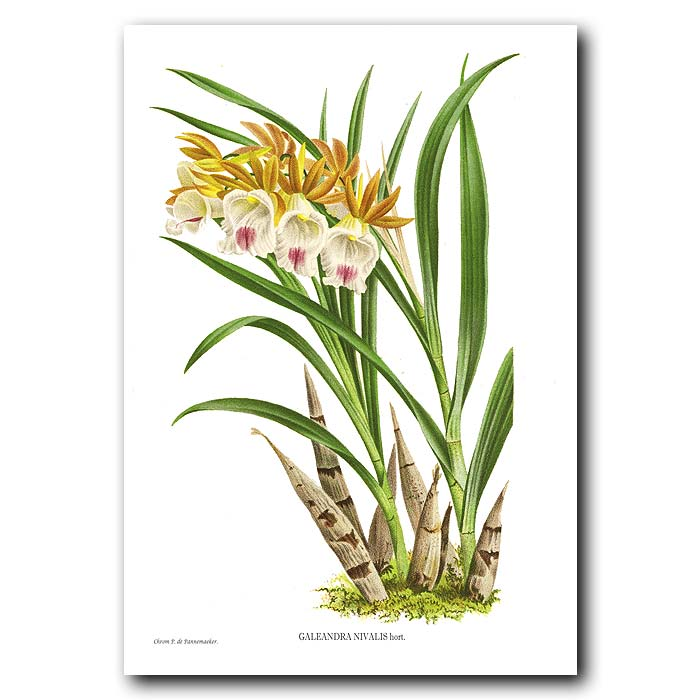 Fine art print for sale. Galeandra Nivalis Orchid