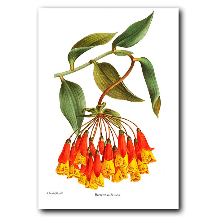 Fine art print for sale. Bomarea flowers from Chile
