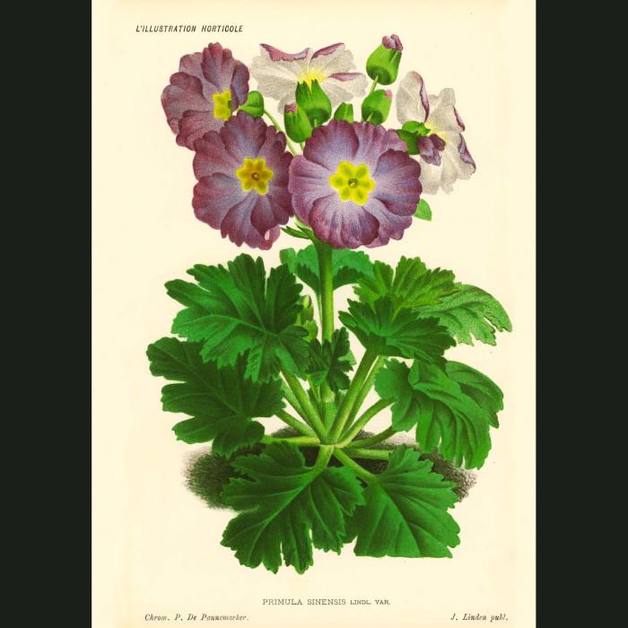 Fine art print for sale. Primula flowers