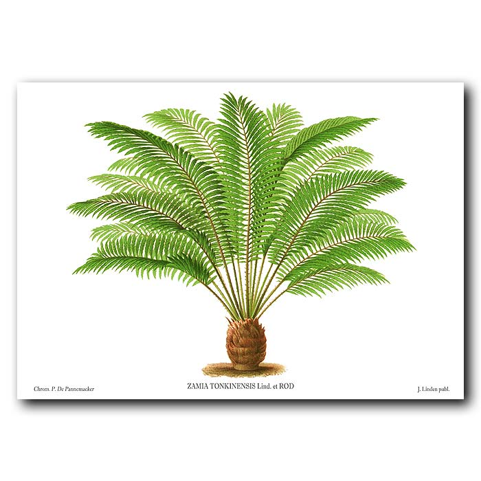 Fine art print for sale. Cycad from the Philippines