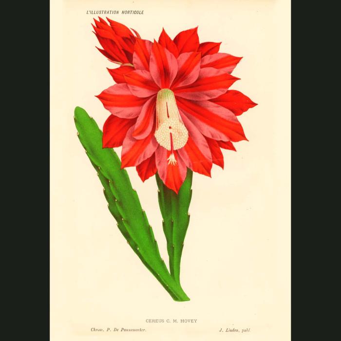 Fine art print for sale. Red Cereus Cactus