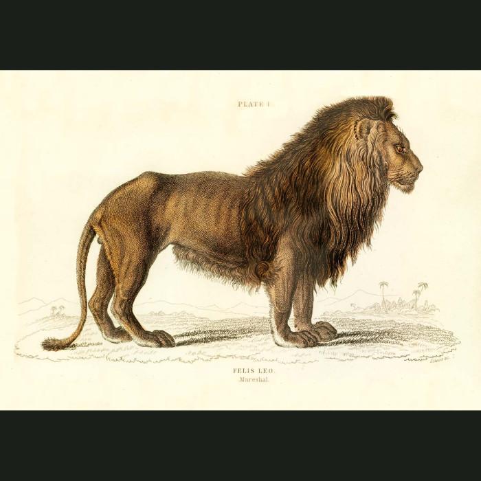 Fine art print for sale. Lion