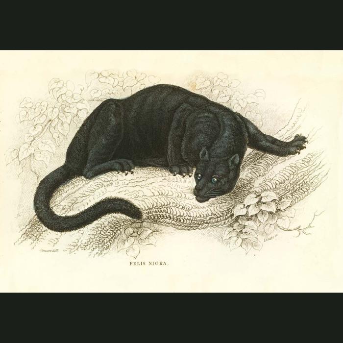 Fine art print for sale. Black Panther