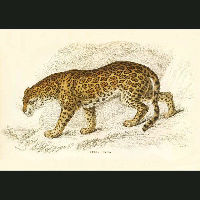 Fine art print for sale. Jaguar