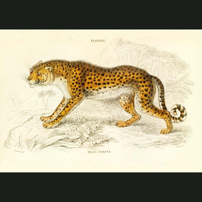 Fine art print for sale. Cheetah