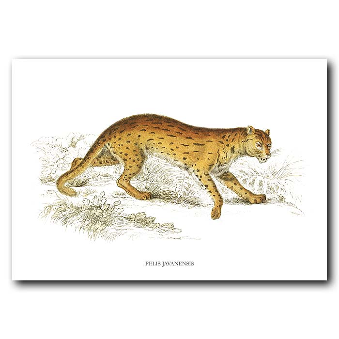 Fine art print for sale. Javanese Cat