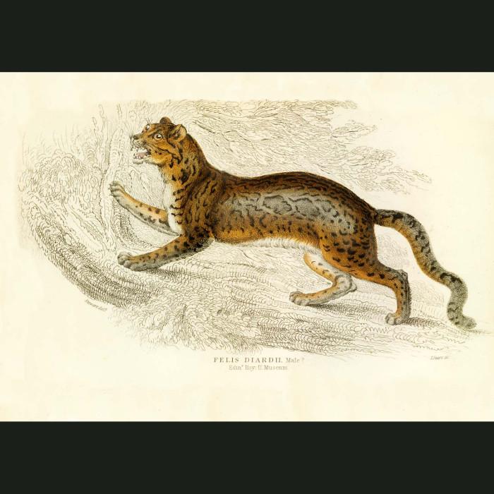Fine art print for sale. Sunda Clouded Leopard
