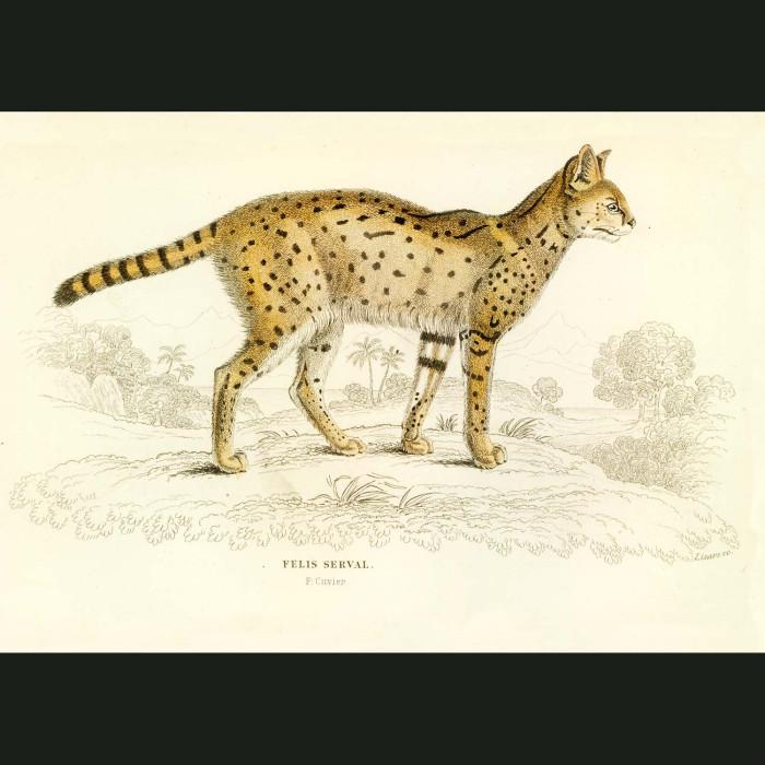 Fine art print for sale. Serval