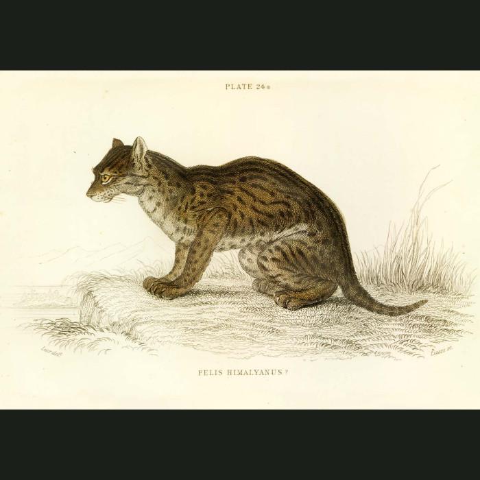 Fine art print for sale. Himalayan Serval Cat