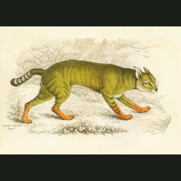 Fine art print for sale. Jungle Cat