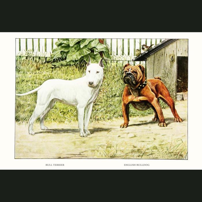 Fine art print for sale. Bull Terrier And English Bulldog