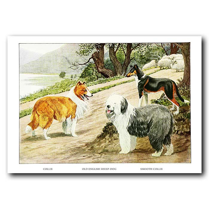 Fine art print for sale. Collie Dogs