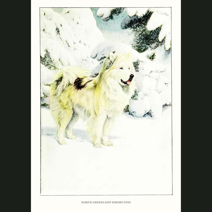 Fine art print for sale. Greenland Husky Or Eskimo Dog