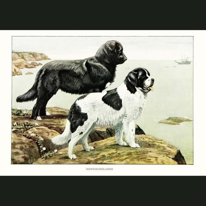 Fine art print for sale. Newfoundland Dogs