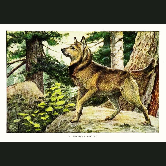 Fine art print for sale. Norwegian Elkhound