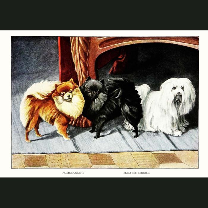 Fine art print for sale. Pomeranian Dogs And Maltese Terrier