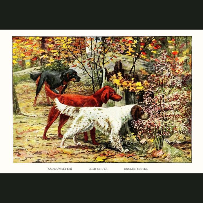 Fine art print for sale. Setter Dogs - English, Irish And Gordon