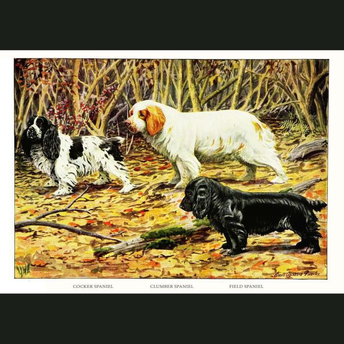 Fine art print for sale. Cocker Spaniel, Clumber Spaniel And Field Spaniel Dogs