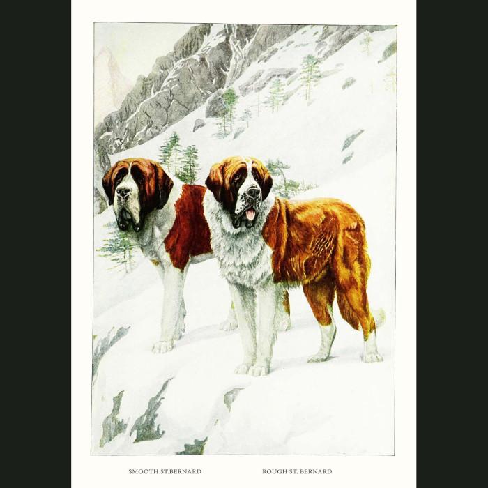 Fine art print for sale. St. Bernard Dogs On Mountain