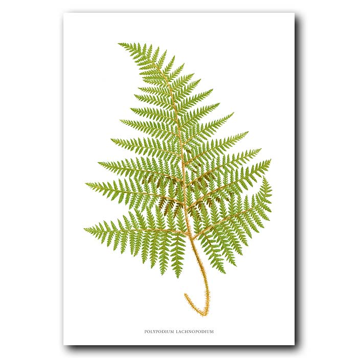 Fine art print for sale. Downy-footed Polypody Fern