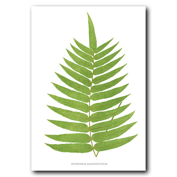 Fine art print for sale. White-spotted Polypody Fern