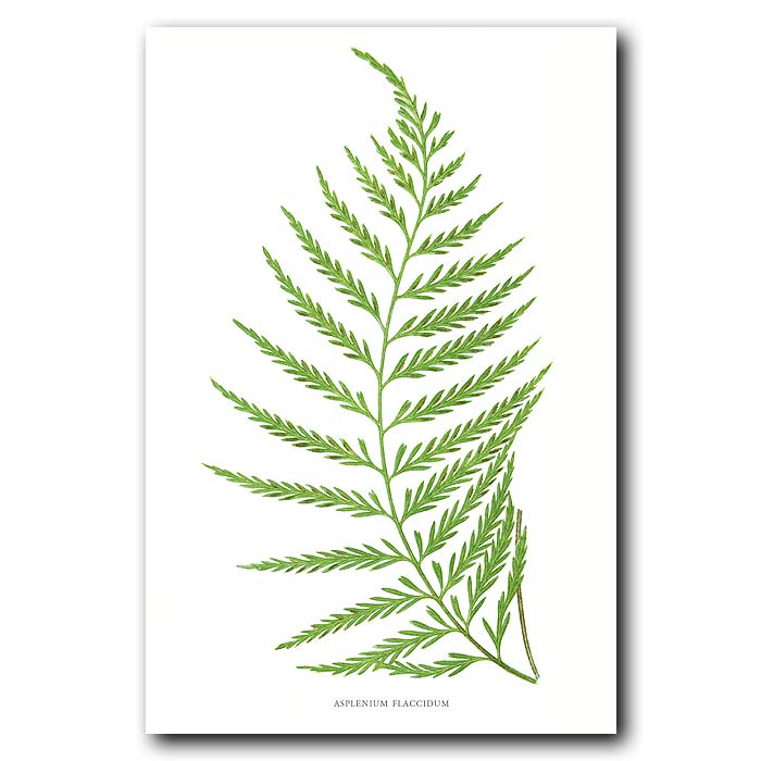 Fine art print for sale. Curved New Zealand Fern