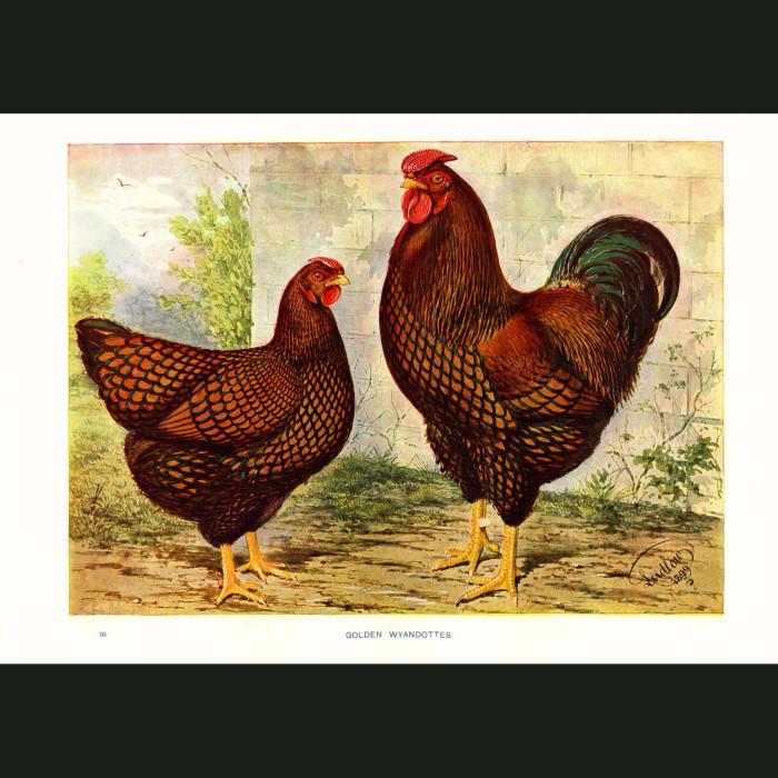Fine art print for sale. Golden Wyandottes