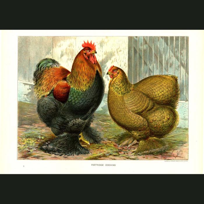 Fine art print for sale. Partridge Cochins