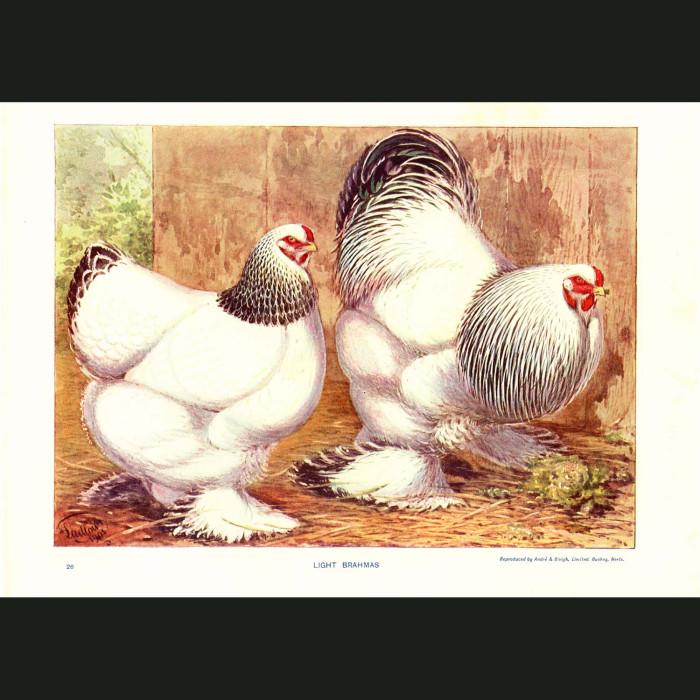 Fine art print for sale. Light Brahma Chickens