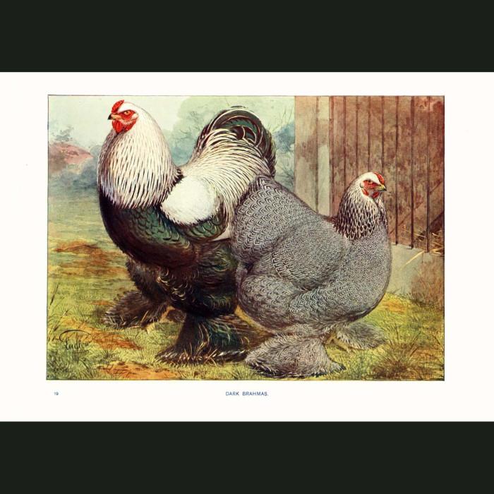 Fine art print for sale. Dark Brahma Chickens