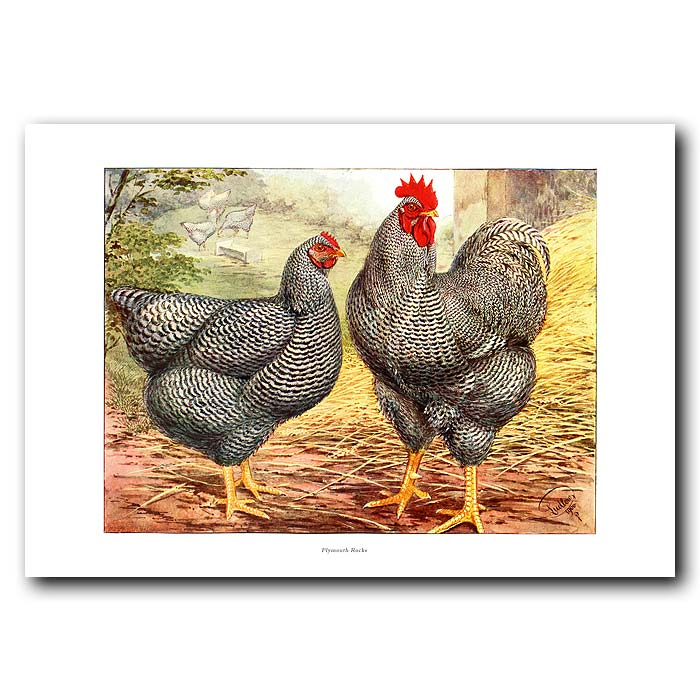 Fine art print for sale. Plymouth Rock Chickens