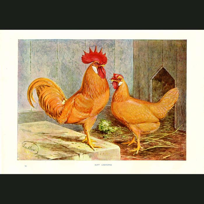 Fine art print for sale. Buff Leghorn Chickens