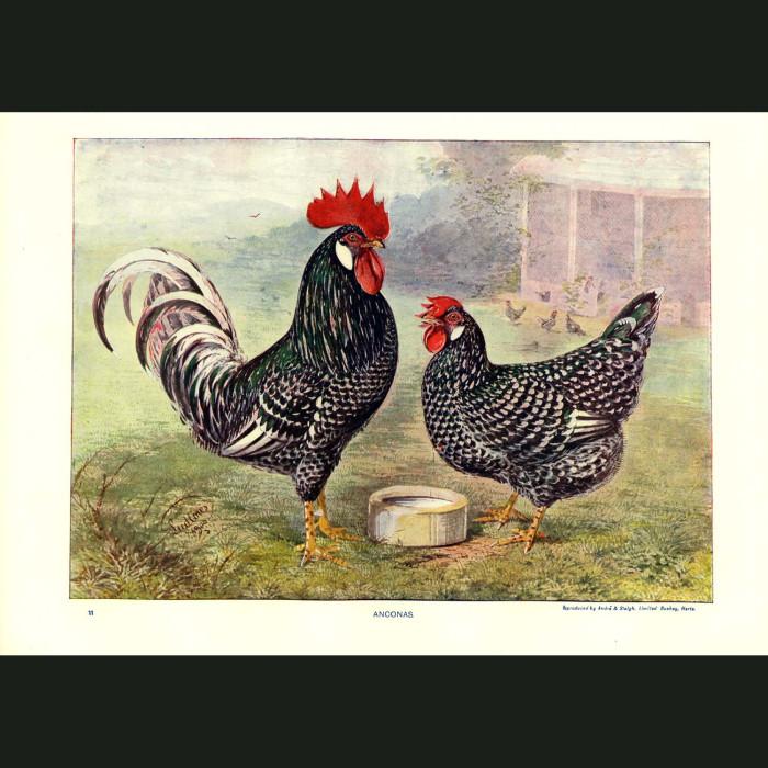 Fine art print for sale. Ancona Chickens